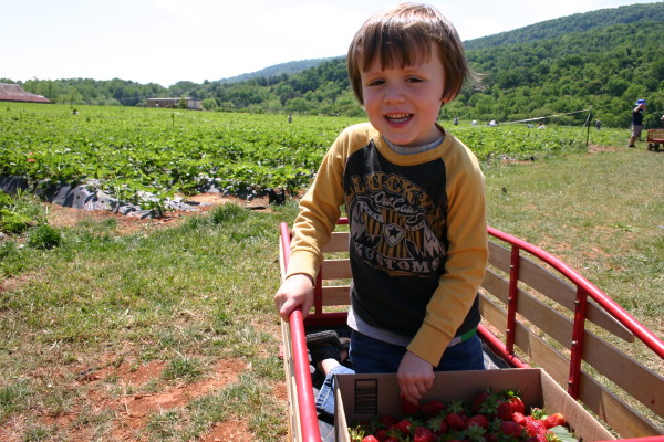 Pick Your Own Local Strawberries with Kids