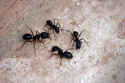 natural solutions to ant infestations